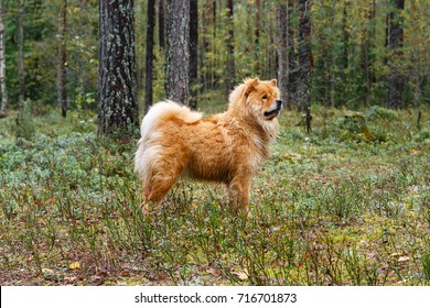 Dog chow-chow. Red dog. Pet on a walk in the forest or park.