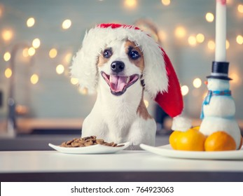 Dog in christmas hat eating food. Happy pet santa.