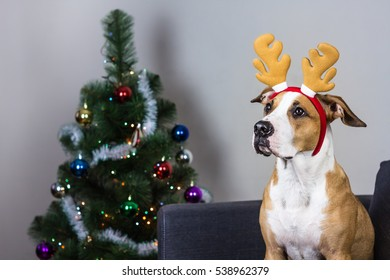 dog in christmas reindeer headband and fur tree staffordshire terrier puppy sitting on sofa with