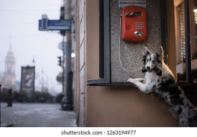 dog in the city at the phone booth. pet border collie