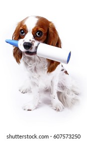 Dog with cleaning roll tape against hairy furry cloth. Dog with lint roller cleaning tool can illustrate hair loss dog shedding or other concept. Cavalier king charles spaniel stunning studio photos.