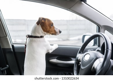 A dog in the closed car looks out of the window. Back view. Closeup
