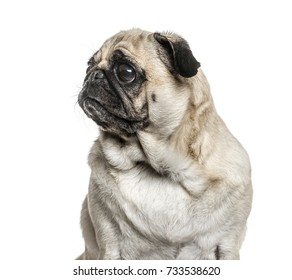 Dog, Close-up of a pug looking away, isolated on white