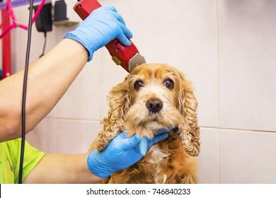dog cocker spaniel in the canine hairdresser