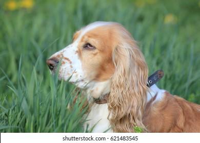 dog Cocker Spaniel for a walk