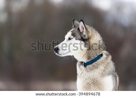 Dog Collar Breed Dog Siberian Huskies Stock Photo Edit Now