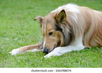 Dog collie lying on meadow