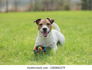 Dog with colorful toy laying down on spring fresh green grass lawn