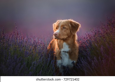 a dog in the colors of lavender, a dog on a lavender field, a Provence. Nova Scotia Duck Tolling Retriever. Toller