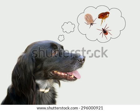 Dog considering disease risk from ticks, fleas. NB my dog!