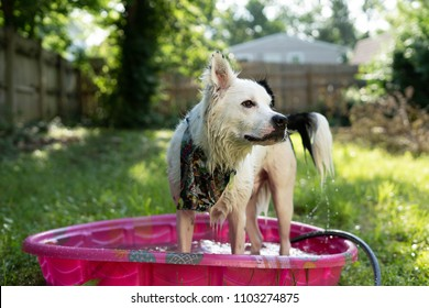 Dog cooling off in kiddy pool