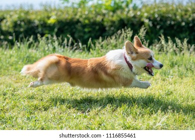 the dog of the Corgi breed rushes for all the power on the lawn