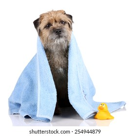 dog covered with blue towel isolated on white background