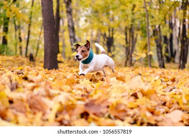 Dog with cozy scarf running through heap of colorful autumn leaves