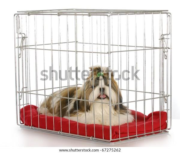 dog in a crate - purebred shih tzu puppy on white background