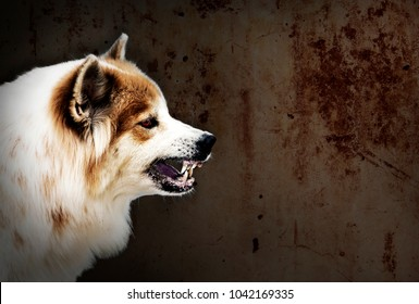Dog crazy fierce and frightening threaten show fangs have drooling. is a symptom of rabies. on a dark wall background.