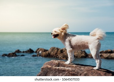 Dog so cute beige color mixed breed with Shih-Tzu, Pomeranian and Poodle on the rocky beach with happy fun when travel at place with nature beach and tropical sea with blue sky and have rock on beach