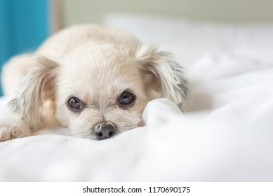 Dog so cute mixed breed with Shih-Tzu, Pomeranian and Poodle sitting or sleep lies on bed with white veil and looking at something with interest on bed in bedroom at home or hotel