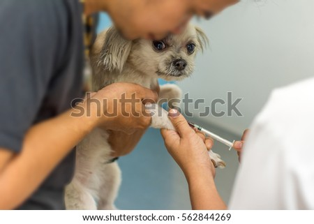Dog Cute Mixed Breed Shih Tzu Pomeranian Stock Photo Edit Now