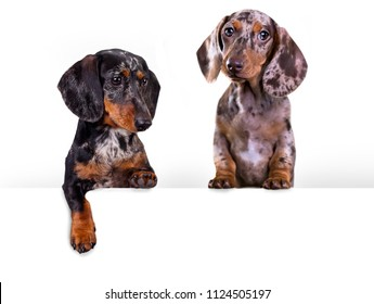 Dog dachshund with blank billboard. Dog above banner or sign. Dachshund dog portrait over white background