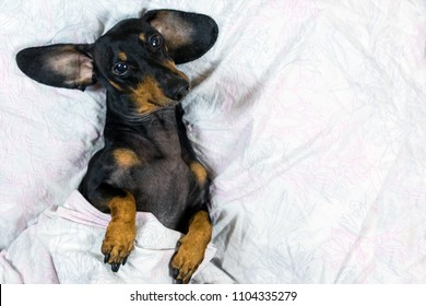dog of the Dachshund breed, black and tan, lies in bed covered in a blanket