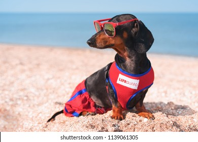 A dog Dachshund breed, black and tan, in a red blue suit of a lifeguard and red sunglasses, sits on a sandy beach against the sea