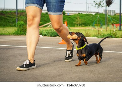 dog of the dachshund breed, black and tan, performs an aport command in competitions for flexibility and obedience along with the trainer
