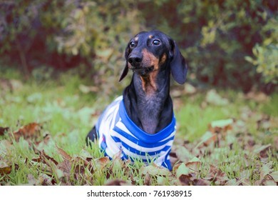 dog of dachshund breed, black and tan, dressed in white blue clothes, sits in an autumn park amidst green trees and fallen leaves