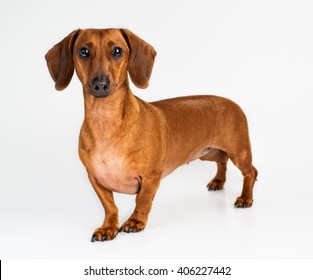 dog, Dachshund, breed, on a white background, isolated