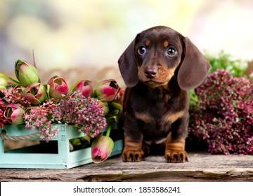dog dachshund brovn and tan color portrait sitting retro  background