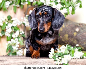 Dog dachshund in the garden among the flowering tree branches