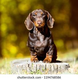 Dog dachshund on the background of autumn landscape