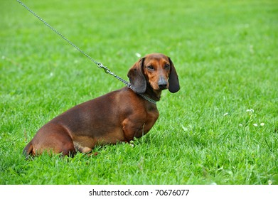 Dog, Dachshund, Dog on the green grass, dog portrait