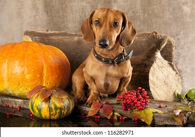 dog dachshund and pumpkin