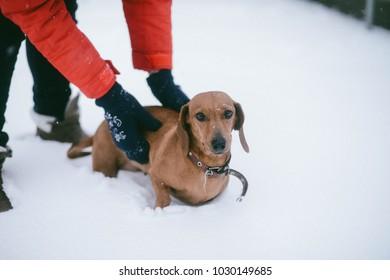 Dog Dachshund Runs Playing on Snow in Winter