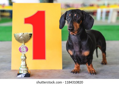dog  dachshund the winner of the exhibition, stand near the gold cup and the number one sign at an exhibition of dogs