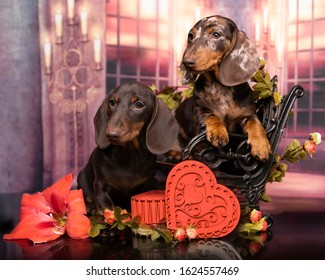 Dog dachshunds puppies and heart love symbol, valentines day