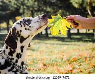 dog of dalmation breed sniffs a green maple leaf in a female hand against the background of the park