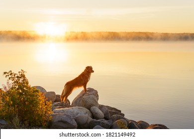 dog at dawn,. Autumn nature. Nova Scotia Duck Tolling Retriever in the morning at lake
