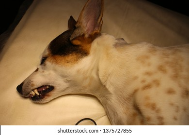 Dog with dermoid cyst on back of the neck in anesthesia on operating table