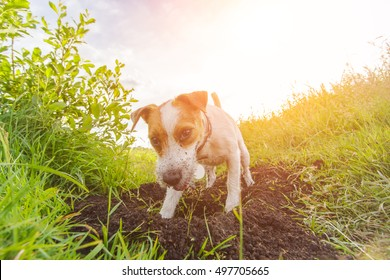 Dog digging a hole. Jack Russell Terrier hunting. Parson Terrier playing on a meadow against sunset