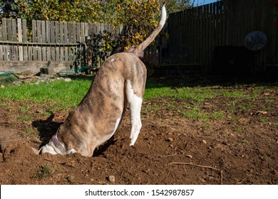 Dog Digging A Hole in the Lawn