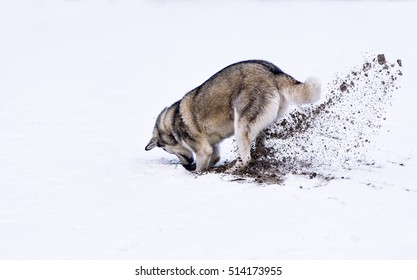 Dog digging in white snow.