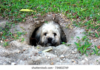 The dog digs the hole and enters the pit under the lawn.
