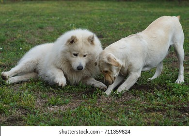 A dog digs a hole in the grass while the other observes him