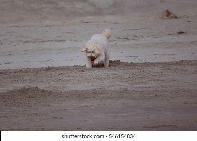 Dog digs in sand on beach