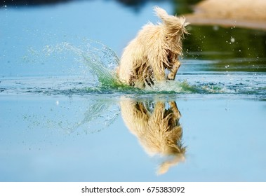 dog dives into the water