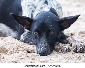 Dog do face sad Lying on the beach Look poor