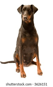 Dog  ( Dobermann / Doberman ) bitch sitting up and looking alert, isolated against a white background