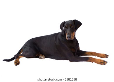 Dog  ( Dobermann / Doberman ) laying down with her head looking slightly down and backwards, isolated against a white background